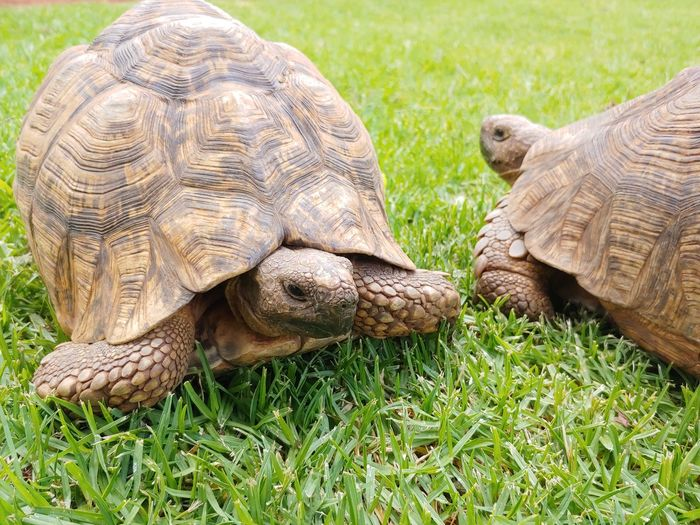On The Way Friendsforever Animal Head  Animal Body Part Pets Two Of A Kind Nature On Your Doorstep Moving Tortoise Shell Tortoise Grass Close-up Slow Shell Animal Shell Turtle Crawling Animal Scale