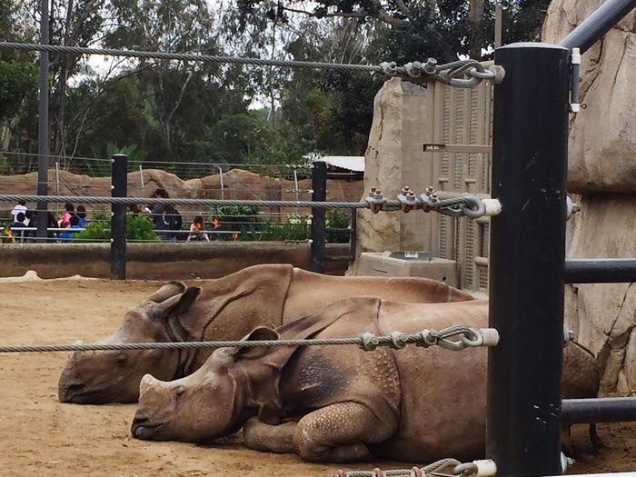 Rhinoceros Zoo Animals  Resting Rhinos