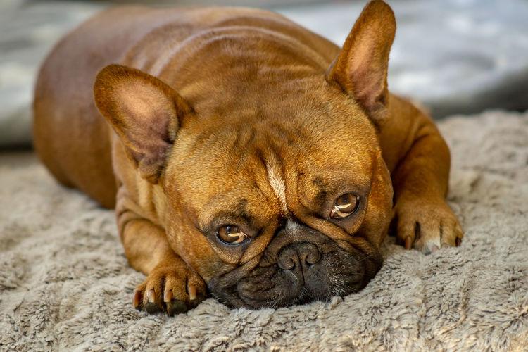 Tired Französische Bulldogge  Hundefotografie Tierfotografie Hundeportrait Hunde Dogs Of EyeEm EyEmselect Düsseldorf Butsosexy Dogs Dogs Life Twerk #hundefoto EyeEm Selects Pets Dog Beach Sand Portrait Lying Down Bulldog Close-up