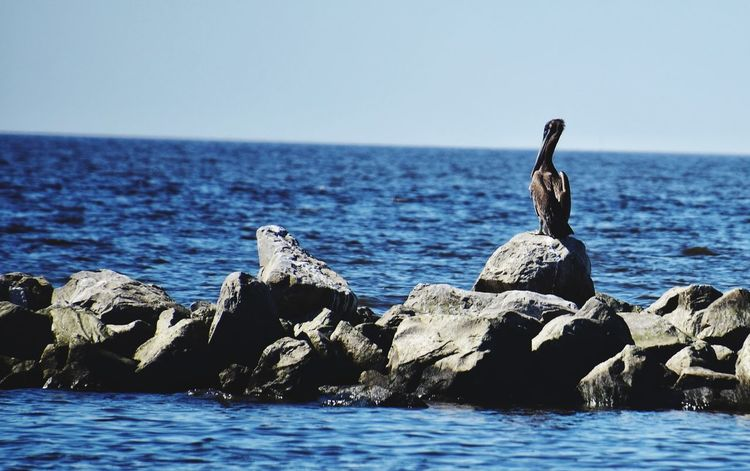 lone pelican Rocks And Water Rocks Louisiana Brightly Lit Blue Sky Waterfront Watet Bird Bird Water Sea Sea Life Beach Pelican Sea Bird