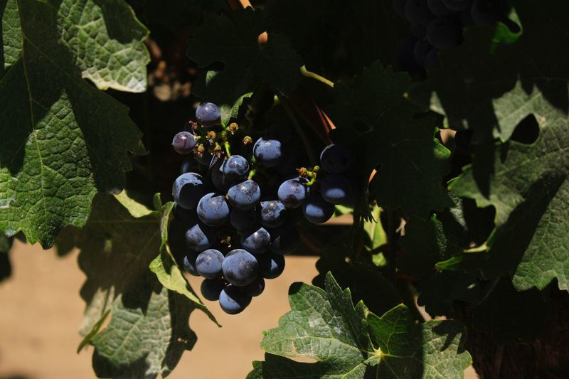 La Vid Wine Grape Nature Sunlight