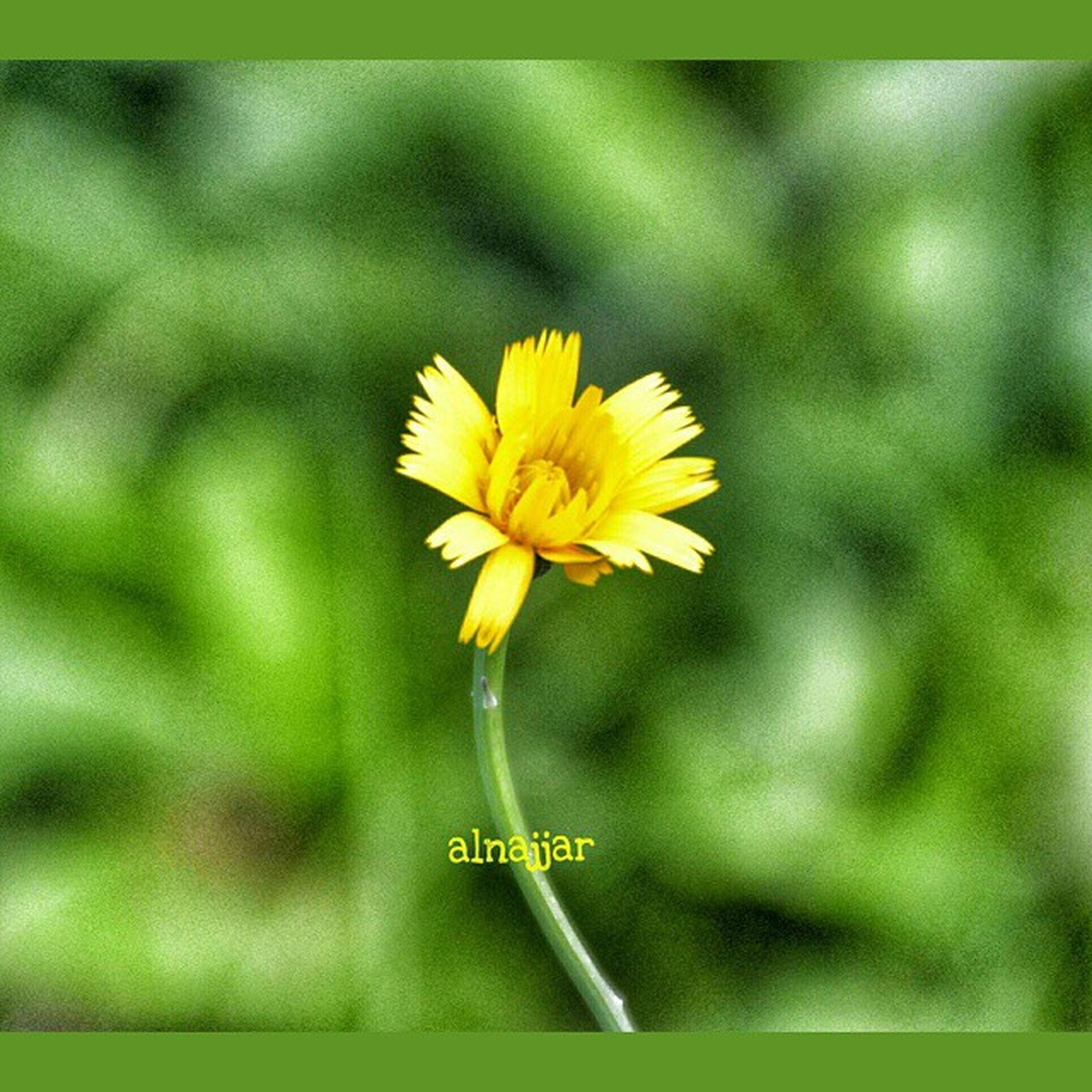 flower, yellow, petal, freshness, fragility, flower head, focus on foreground, growth, beauty in nature, close-up, nature, blooming, single flower, stem, selective focus, plant, pollen, in bloom, day, botany