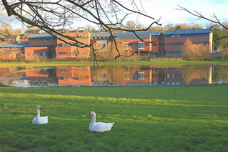 Geese Goose Ashbourne Reflection Reflection_collection Reflections In The Water Derbyshire Derbyshire Uk Grass