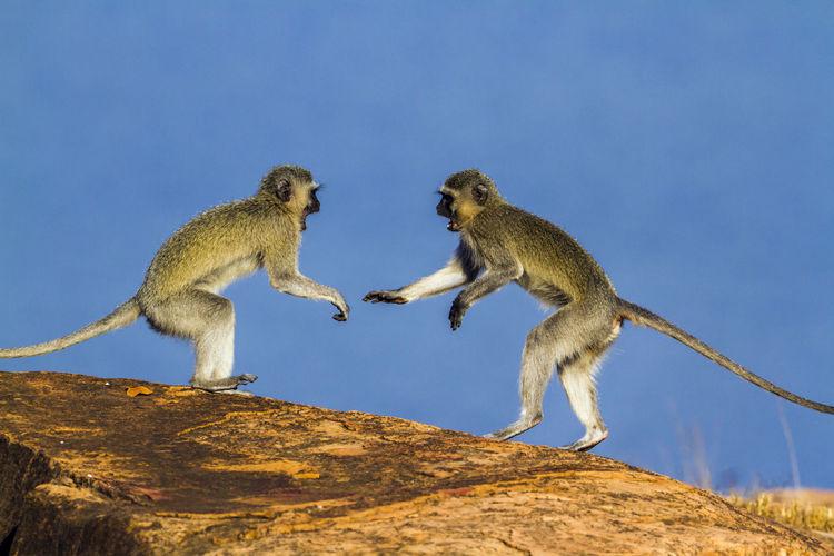 Monkeys on rock against clear sky