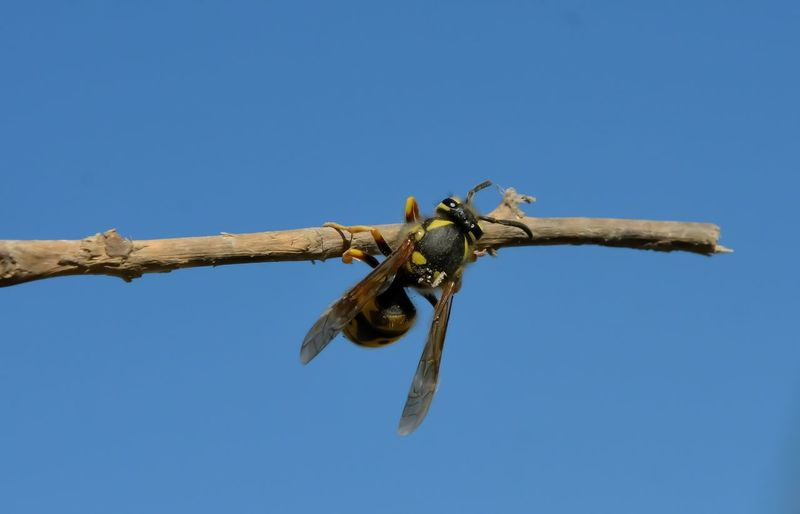 Acrobatic Activity Bee Blue Sky Background Clear Sky Day Dry Plant Holding On Outdoors