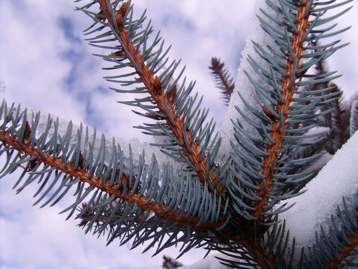 Tree Snow Cold Temperature Winter Mountain Spruce Tree Forest Pine Tree Pinaceae Sky