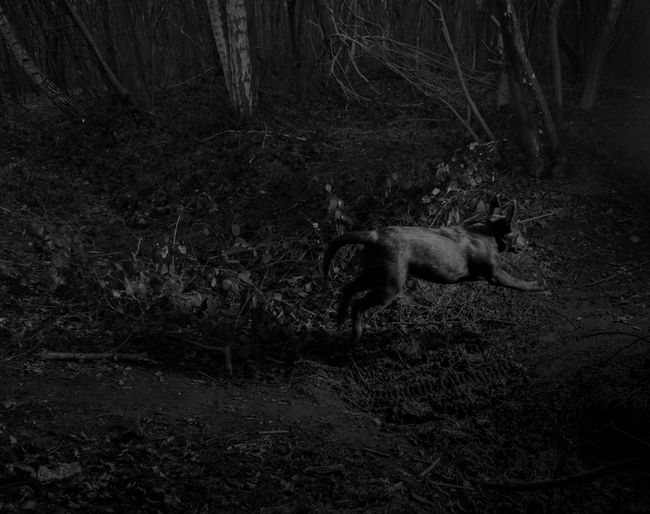 Animal Themes Dark Dog Domestic Animals Forest Full Length Misterious Nature One Animal Pets Side View Wildlife