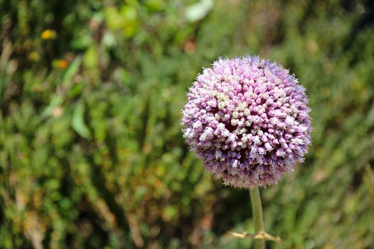 Close-up of allium flower blooming at park
