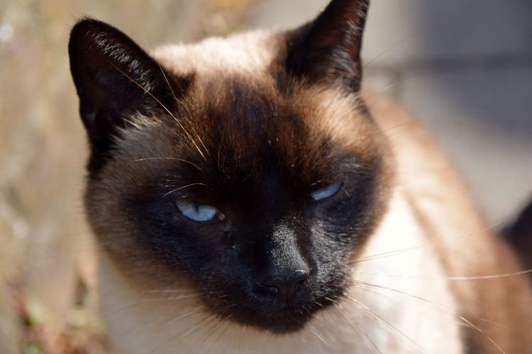 Aristocats Animal Themes Blueyedcat Close-up Day Domestic Animals Domestic Cat Feline Mammal No People One Animal Outdoors Pets Portrait Siamese Cat