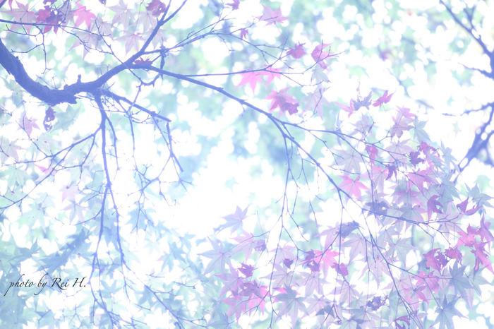 """スウィート・ノベンバー 秋色を見つけた11月の始まり あまり恋愛映画は見ないのだけど、不意に昔観たキアヌ・リーブスとシャーリーズ・セロンが出ていた「スウィート・ノベンバー」を思い出した ( 2015年11月01日 撮影 ) Sweet November Beginning of November we find fall color I'm not seen so much love movies, I remembered the """"Sweet November"""" a long time ago and watched was Keanu Reeves and Charlize Theron hadappeared unexpectedly ( photographed November 01, 2015 ) 紅葉 葉っぱ Maple Autumnleaves Leaves EyeEm Nature Lover Canon"""