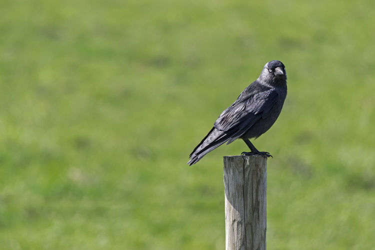 Animal Themes Animal Wildlife Animals In The Wild Bird Close-up Crow Day Focus On Foreground Nature No People One Animal Outdoors Perching Raven - Bird Wood - Material Wooden Post