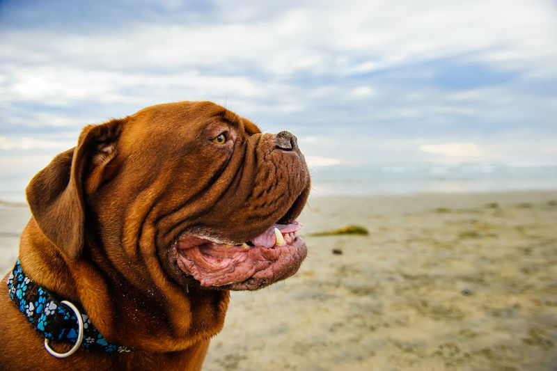 Close-up of french mastiff at beach against sky