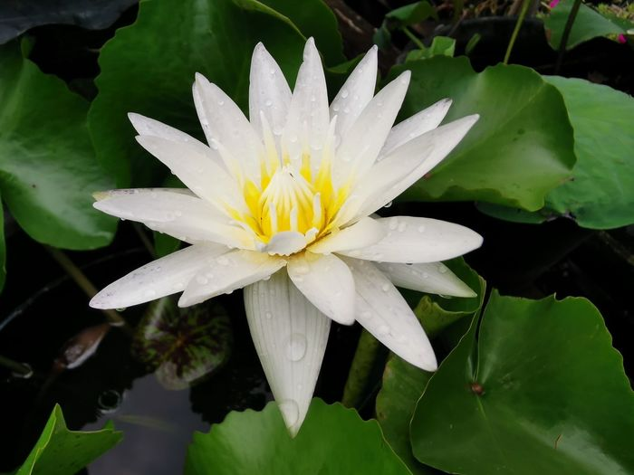 Close-up of white water lily on plant