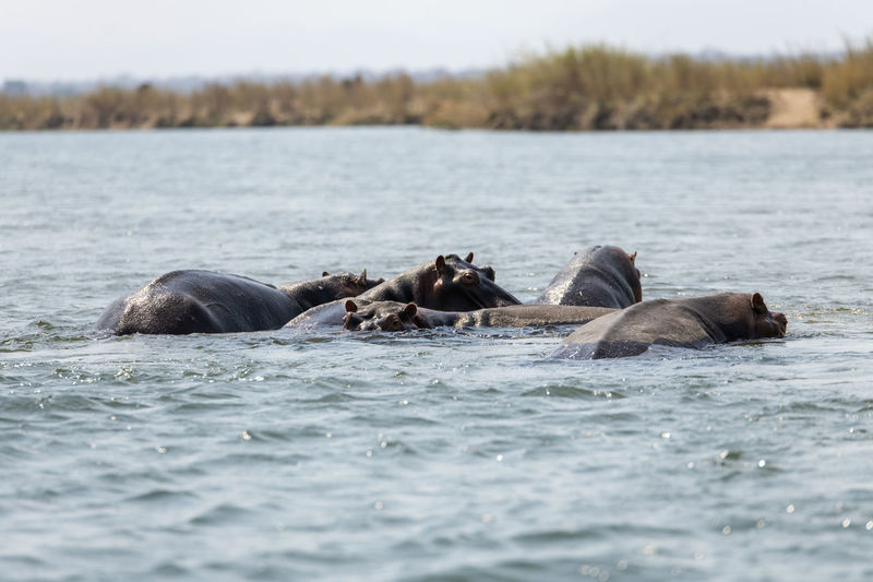 View of hippos in river