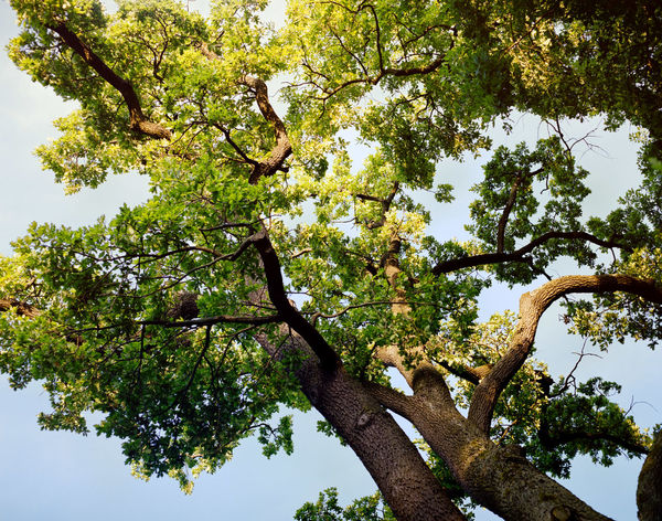 Beauty In Nature Branch Close-up Day Directly Below Green Green Color Growth High Section Low Angle View Lush Foliage Nature No People Outdoors Scenics Sky Tranquil Scene Tranquility Tree Tree Trunk