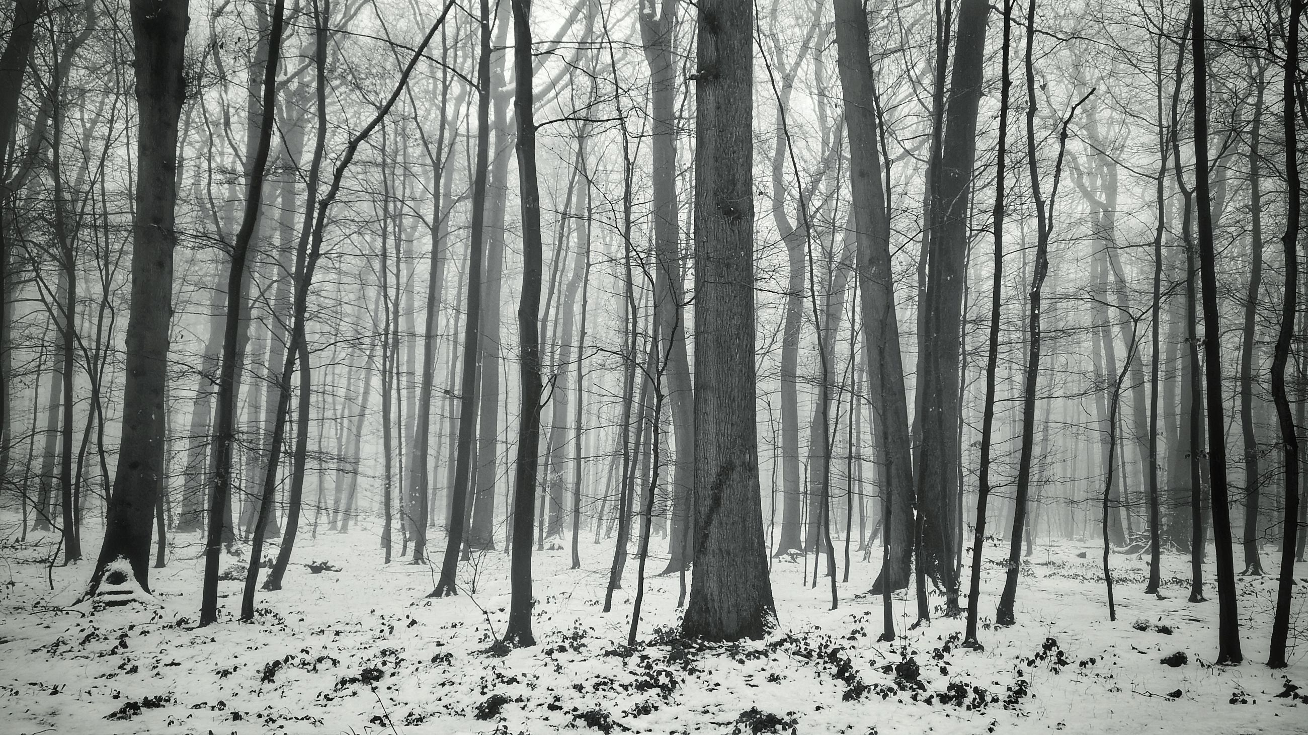 tree, forest, land, plant, snow, winter, cold temperature, tree trunk, woodland, trunk, fog, tranquility, environment, beauty in nature, no people, nature, tranquil scene, scenics - nature, non-urban scene, outdoors, snowing, climate