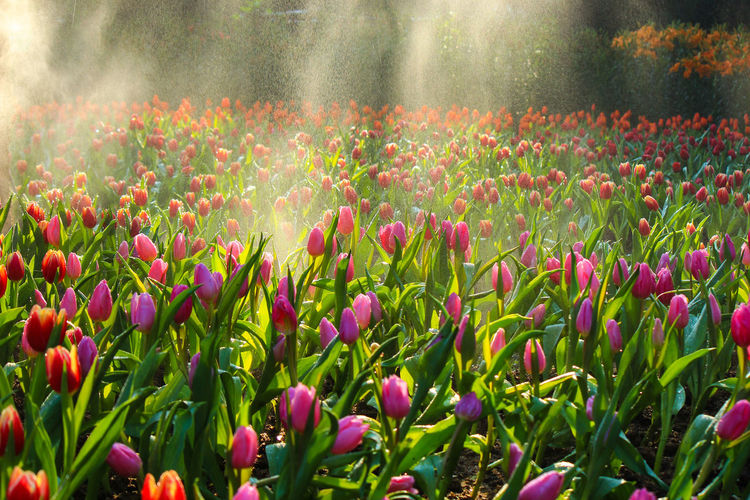 Close-up of pink tulips blooming in field