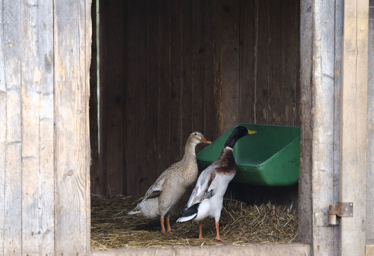 Geese perching in barn