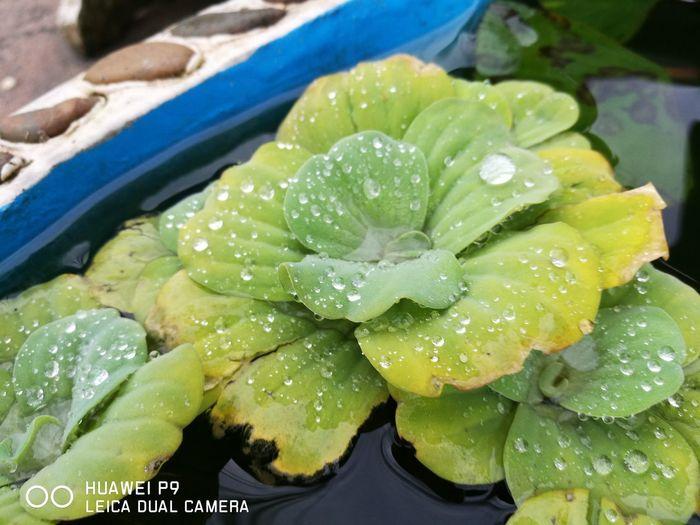 ใบบัวในอ่างน้ำ Water Drop Wet Green Color Purity Freshness Floating On Water Plant Nature Leaves Day Vibrant Color Large Group Of Objects Fresh Beauty In Nature Botany Green Fragility Tranquility Standing Water