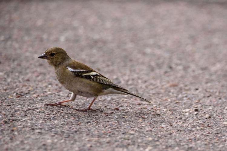 The common chaffinch (Fringilla coelebs) female bird in park on asphalt. The Common Chaffinch Animal Wildlife Animals In The Wild Bird Bird On Asphalt Common Chaffinch Common Chaffinch Female No People One Animal Outdoors
