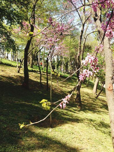Erguvan / Judas Tree Lovelovelove Spring Walking Around Taking Photos