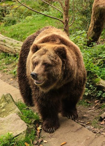 Bear One Animal Animal Wildlife Animals In The Wild Nature Animal Themes Mammal Outdoors No People Day Tree Full Length Brown Bear Close-up Dangerous Animals Fur Wildlife Wildlife & Nature Pet Portraits