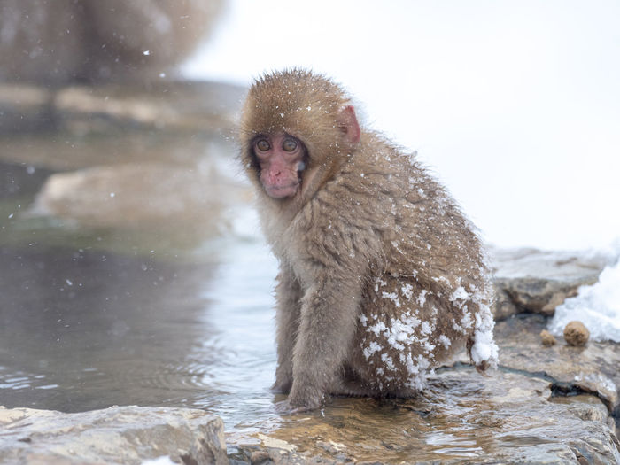 Young japanese macaque sitting on rock by hot spring during winter