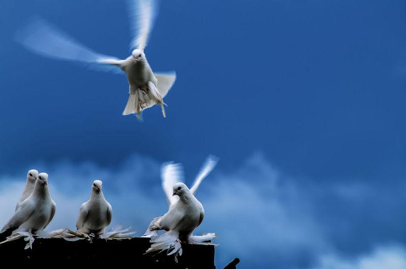 Doves Against Sky