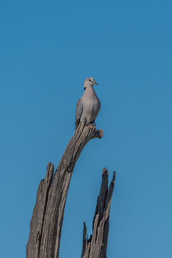 Low angle view of ring-necked dove perching on bare tree against clear sky