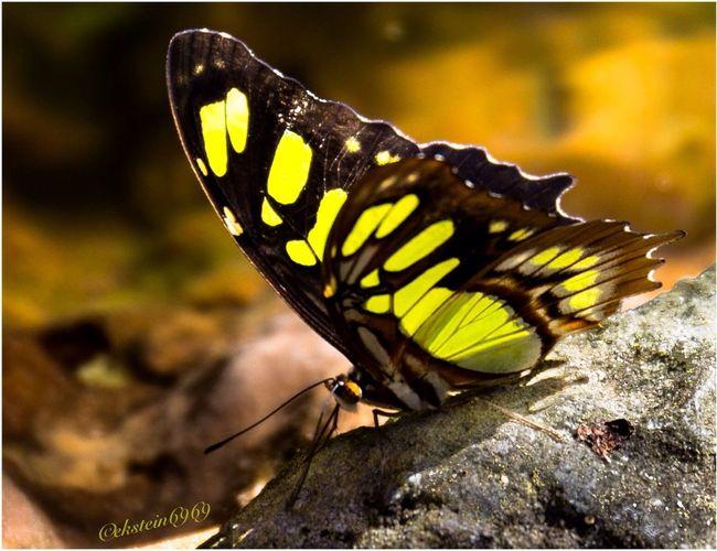 Sunbathing butterfly... EyeEm Best Shots - Nature Butterfly Macroclique Macro Nature