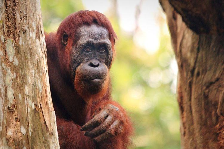 We are slowly destroying their habitats aren't we? That's why this fella is kinda sad looking. Wildlife & Nature Primate Animals Orang Utan Wildlife Nature First Eyeem Photo