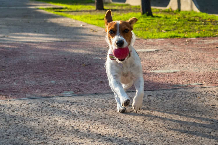Portrait of dog running on road