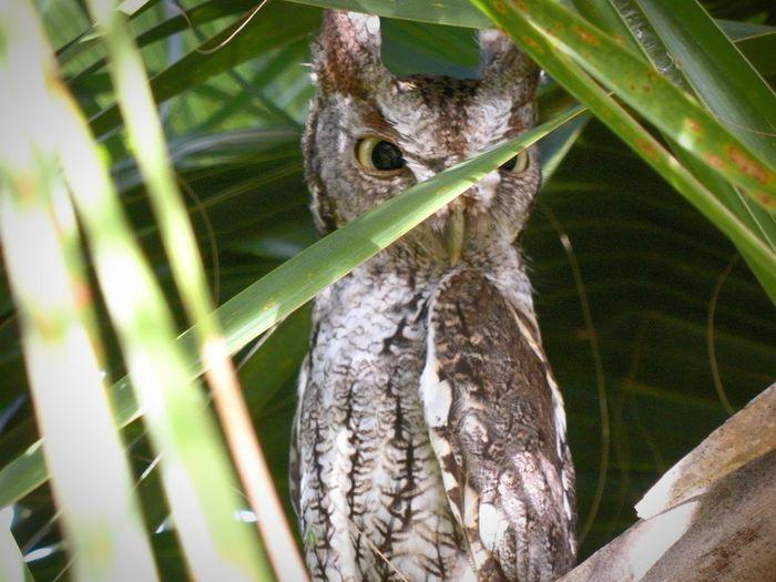 Nature Owl Hooter Wild Outdoors Florida Eyes Watching