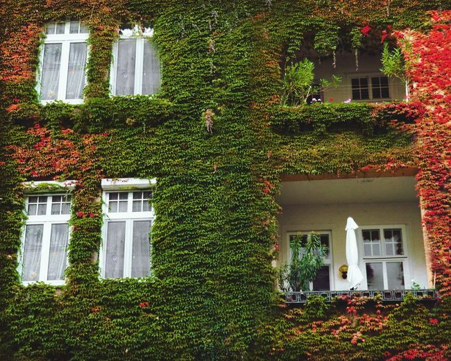 Ivy growing on building