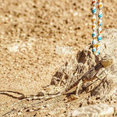 سبحة مسبحة 😚 😀 Links desert lizard reptiles حيوانات تصويري صحراء القصيم مقطع لقطة السعودية سحلية سحالي زواحف ksa sonyalpha sony animal animals instalizard instalizards lizards saudiarabia saudi_arabia instareptiles reptiles instaanimal instaanimals