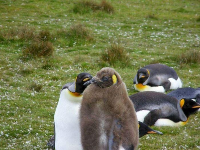 King Penguins King Penguin Chick