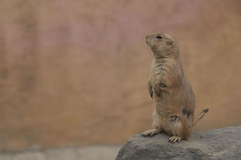 prairie dog Marine Nature Rodent Sitting Full Length Outdoors Day Looking Looking Away Rock - Object Solid Rock No People Vertebrate Focus On Foreground One Animal Mammal Animals In The Wild Animal Animal Wildlife Animal Themes