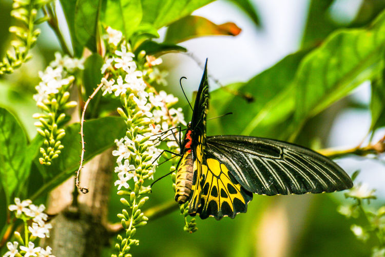 Golden birdwing butterfly try to find food from Chinese Rose flowers. Animal Themes Beauty In Nature Black; Butterfly; Chinese Rose; Close-up Day Environment; Flower;  Fragrance; Fresh; Freshness Garden; Golden Birdwing Butterfly; Growth Insect Nature No People One Animal Outdoors Plant Southeast Asia; Tropical; White; Wings;