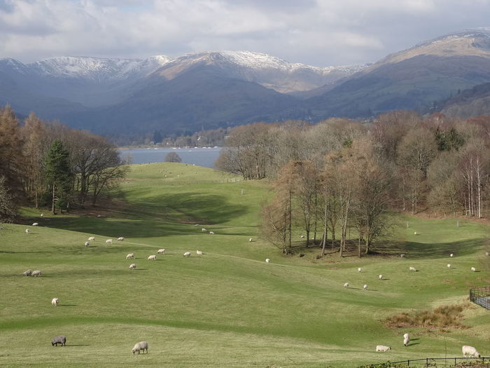 The passing of winter The Lake District  Winter Landscape Beauty In Nature Day Golf Grass Green - Golf Course Green Color Landscape Mountain Mountain Range Nature No People Outdoors Scenics Sheep Farm Sheep Grazing Sky Snow Tranquil Scene Tranquility Tree Water