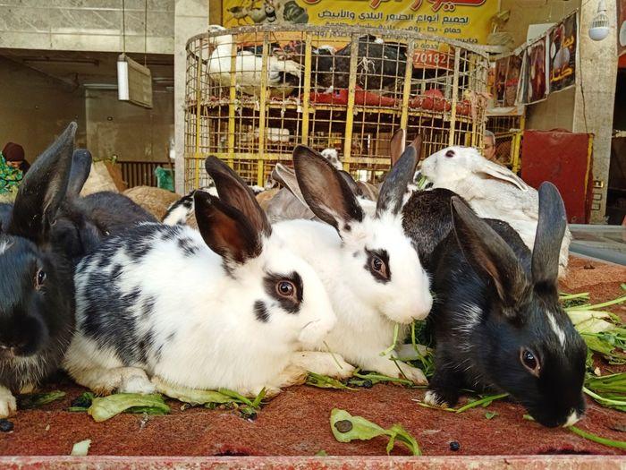 Rabbits Rabbit