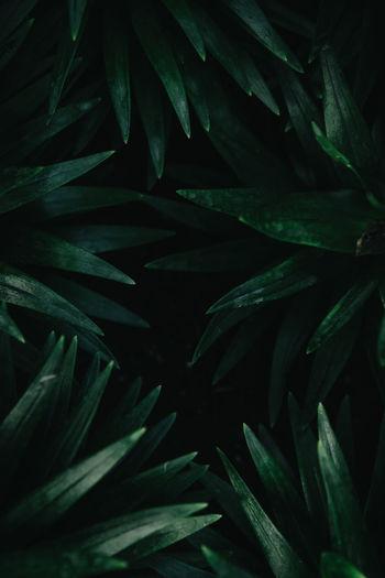 dark green tropical leaves background. Green Color Leaves🌿 Shape Background Backgrounds Botany Close-up Dark Leaf Foliage Freshness Green Color Growth Leaf Leaf Vein Leaves Natural Pattern Nature Nature Shapes Plant Plant Part Texture Tropical Tropical Leaves
