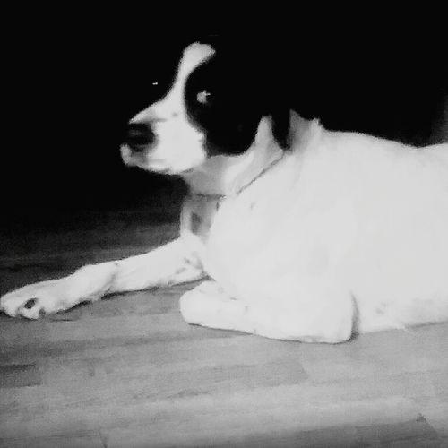 Dog Pets One Animal Animal Themes No People Domestic Animals Animal Black And White Friday