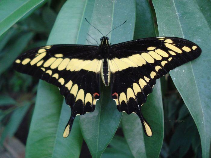 Riesen Schwalbeschwanz Schmetterlinge Usedom Trassenheide Beauty In Nature Black Yellow Butterfly Butterfly - Insect Insect Nature No People One Animal Papilio Cresphontes Schwarz Gelb