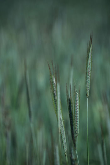 Growth Plant Close-up Focus On Foreground Nature Beauty In Nature No People Tranquility Field Day Green Color Land Selective Focus Outdoors Agriculture Vulnerability  Fragility Rural Scene Crop  Grass Stalk Blade Of Grass