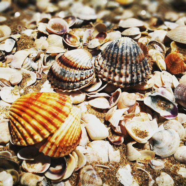 Seaside Termoli  Beach Shell Shells Sea Sand Outdoors Natural Beauty Seashell Close-up Nature
