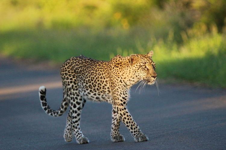 Leopard walking on road