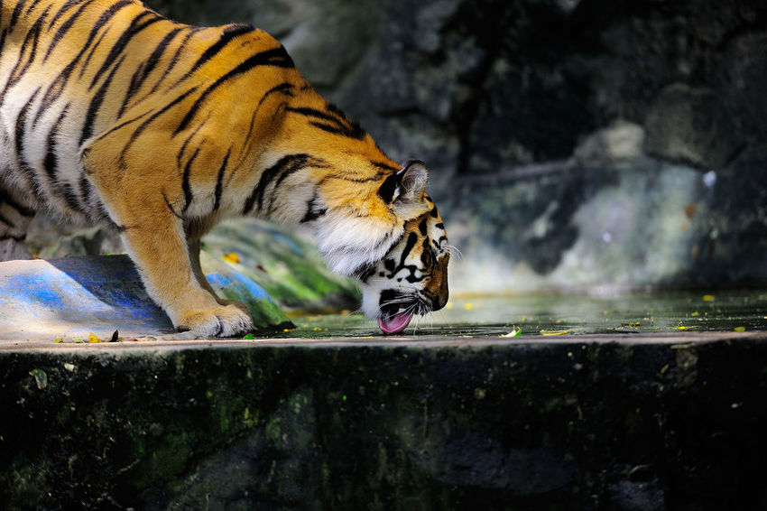 Tiger bengal tiger. Animal Animal Themes Animal Wildlife Animals In Captivity Animals In The Wild Big Cat Cat Day Drinking Endangered Species Feline Mammal Nature No People One Animal Outdoors Tiger Vertebrate Water Whisker Zoo