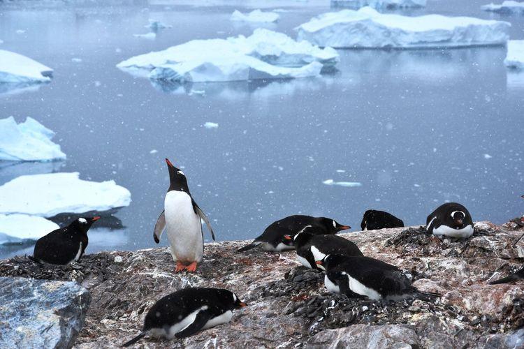 Animals Animals In The Wild Antarctic Antarctica Glacier Ice Penguin Penguin Colony Penguins Snow Winter Winter Wonderland