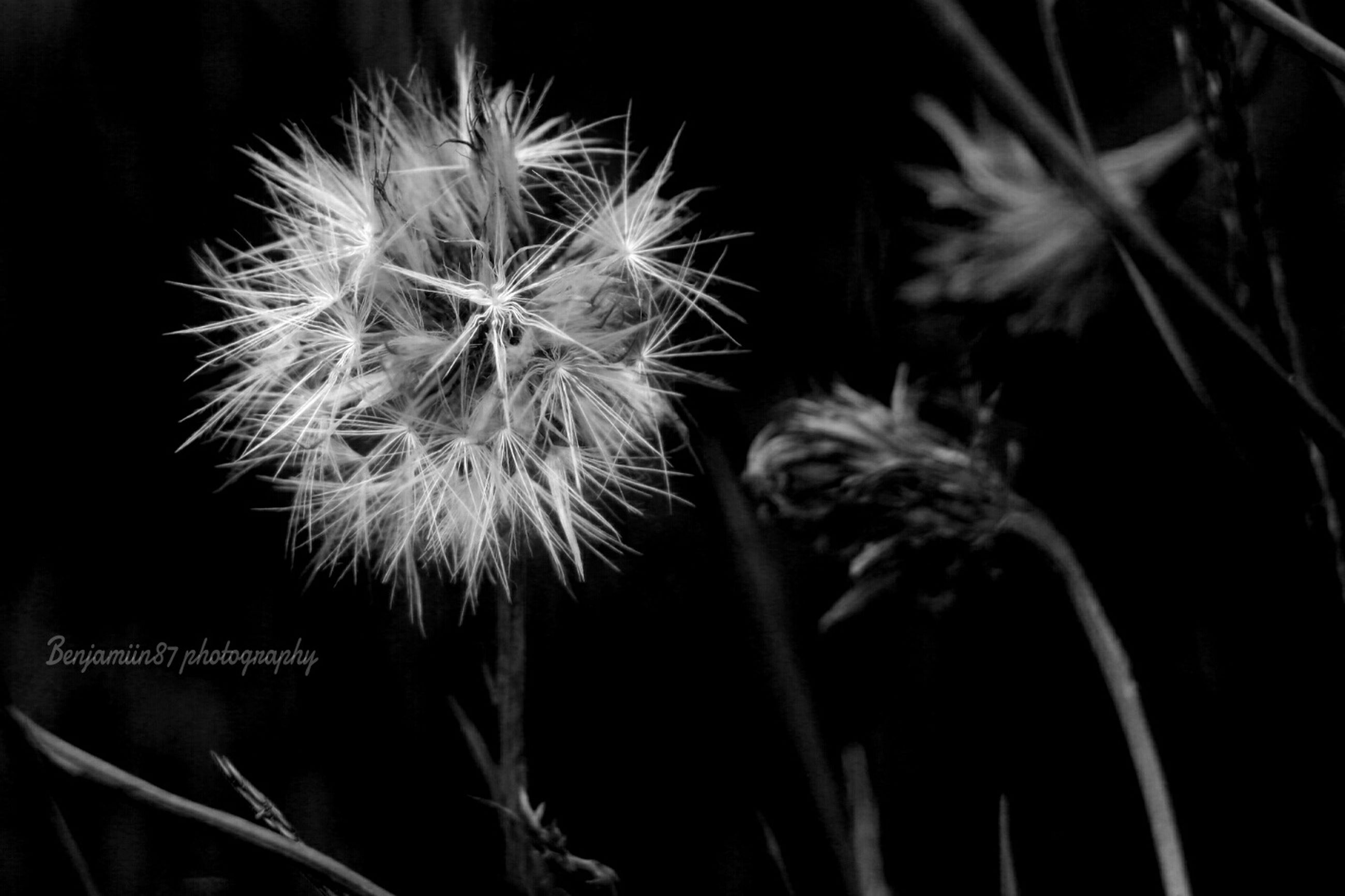 dandelion, flower, growth, fragility, close-up, freshness, flower head, plant, nature, stem, beauty in nature, focus on foreground, softness, wildflower, uncultivated, no people, outdoors, dandelion seed, single flower, white color