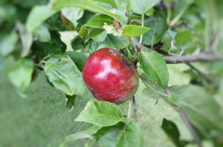 its soon apple season! Apple Apple Season Red Apple Picking Branch Close-up Day Fall Focus On Foreground Food Food And Drink Freshness Fruit Green Color Growth Healthy Eating Leaf Nature No People Orchard Outdoors Picking Apples Plant Red Tree